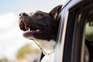 Happy Dog with Head Outside the Car